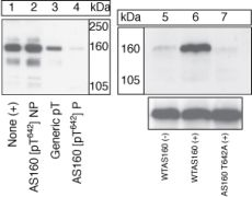 Phospho-AS160 (Thr642) Antibody (44-1071G)