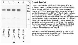 Phospho-TrkA pTyr751 Antibody (44-1342G)