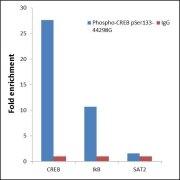 Phospho-CREB (Ser133) Antibody (44-298G)