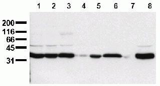 PLSCR1 Antibody (44318M)