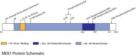 Phospho-MEK1 (Thr386) Antibody (44-462G) in
