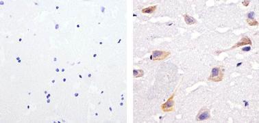 Phospho-SHP-2 (Tyr542) Antibody (44-554G)