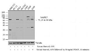 MAPK7 Antibody (44-688G)