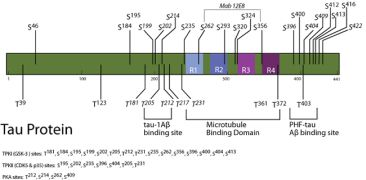 Phospho-Tau (Ser422) Antibody (44-764G) in