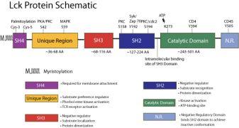 Phospho-LCK (Tyr505) Antibody (44-850G) in