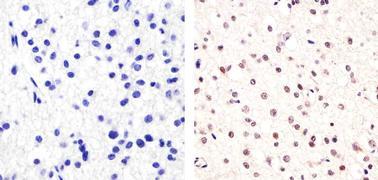 SOX2 Antibody (48-1400)