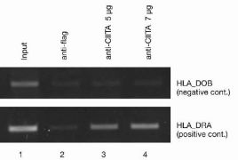 CIITA Antibody (49-1001)