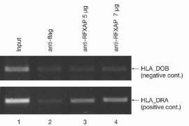 RFXAP Antibody (49-1034)