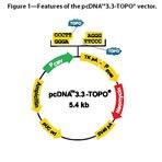 pcDNA™3.3-TOPO® vector.