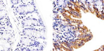 Connexin 26 Antibody (51-2800)