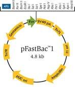 pFastBac1 Vector