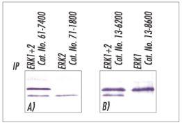 ERK1/ERK2 Antibody (61-7400)