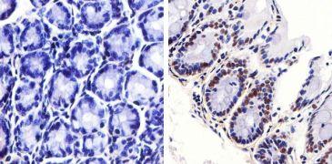 Phospho-JNK1/JNK2 (Thr183, Tyr185) Antibody (700031)