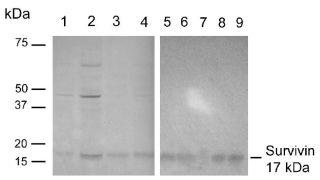 Survivin Antibody (700387)