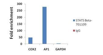 STAT5 beta Antibody (701109)