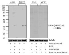 Phospho-S6 (Ser235, Ser236) Antibody (701363)