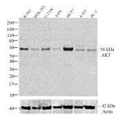 AKT Antibody (710005)