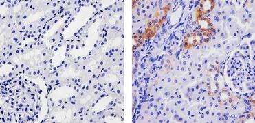 SPARC Antibody (710030)