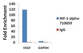 HIF-1 alpha Antibody (710059)