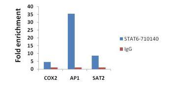 STAT6 Antibody (710140)