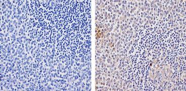 TLR4 Antibody (710185)
