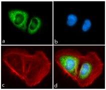 PIWIL1 Antibody (710208)