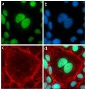 GATA2 Antibody (710242)