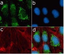 mTOR Antibody (710408)