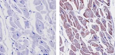 Connexin 43 Antibody (71-0700)