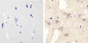 Connexin 30 Antibody (71-2200)