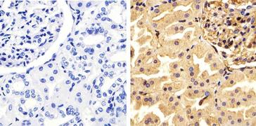 Annexin A1 Antibody (71-3400)