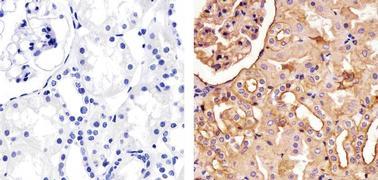 Pan-cadherin Antibody (71-7100)