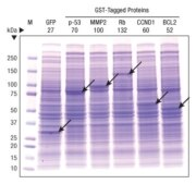 Expression of coomassie-stainable levels of proteins using the 1-Step Human High-Yield IVT Kit