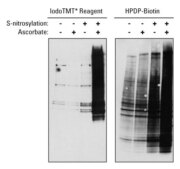 Lower background with iodoTMT reagent compared to biotin labeling for detection of S-nitrosylated proteins