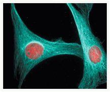 alpha-Tubulin Antibody (A11126)