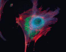 alpha Tubulin Antibody (A11126)