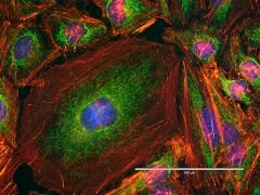 Mouse IgG (H+L) Secondary Antibody (A16079)