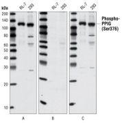 Phospho-PPIG (Ser376) Antibody (A16603)