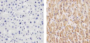 Complex IV Antibody (A-21347)