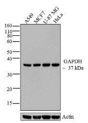 GAPDH Antibody (A21994)