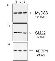 Goat IgG (H+L) Secondary Antibody (A27013)