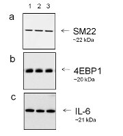Goat IgG (H+L) Secondary Antibody (A27014)