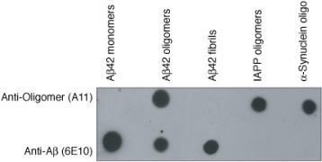 Oligomer A11 Antibody (AHB0052)
