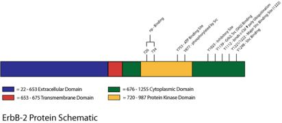 HER-2 / ErbB2 Antibody (AHO1011) in