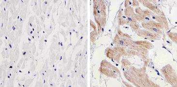 PRAS40 Antibody (AHO1031)