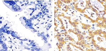 JNK1/JNK2 Antibody (AHO1362)