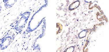 LKB1 Antibody (AHO1392)