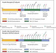 INSR alpha Antibody (AHR0231) in
