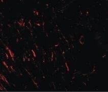 PRAS40 Antibody (PA5-34565)