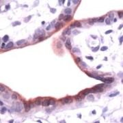 Annexin A1 Antibody (PA1-37083)